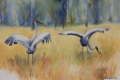 Dance of the Brolga I - 36cm x 55cm, Watercolour -$950.00